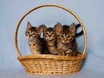 July Kitten Basket